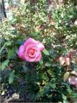 pinkbeachrose